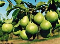 Компот грушевий з ягідним сиропом