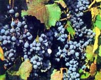 Компот виноградний