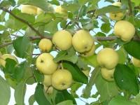 Варення з горобини із яблуками