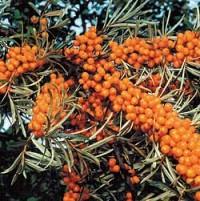 Варення обліпихова з волоськими горіхами